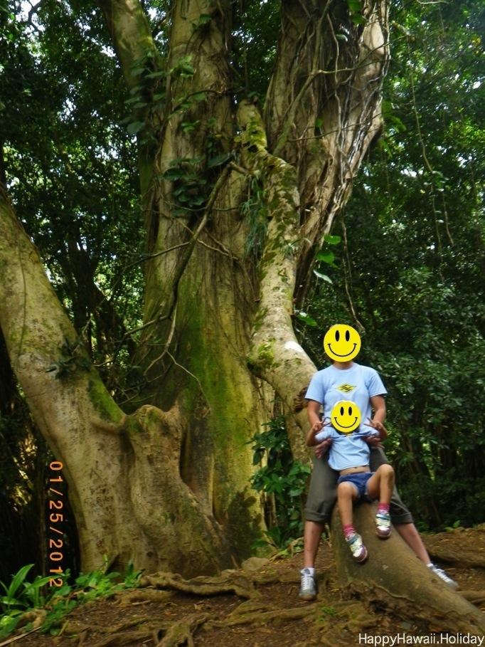マノアの滝の大きな樹